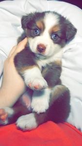 Miniature Aussie w blue eyes Featured Image