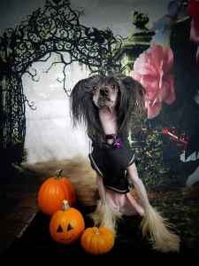 Cute Female Chinese Crested Listing Image