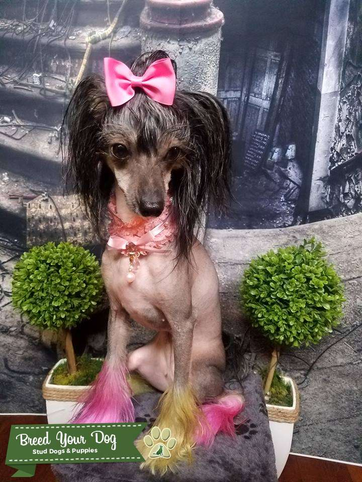 Cute Female Chinese Crested Listing Image Big