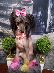 Cute Female Chinese Crested Listing Image Thumbnail