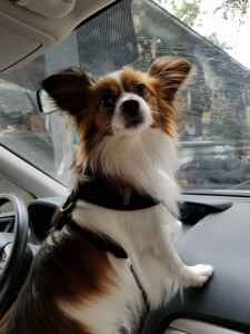 Papillon Male Seeks Female Pomeranian / Dachshund / Other Listing Image