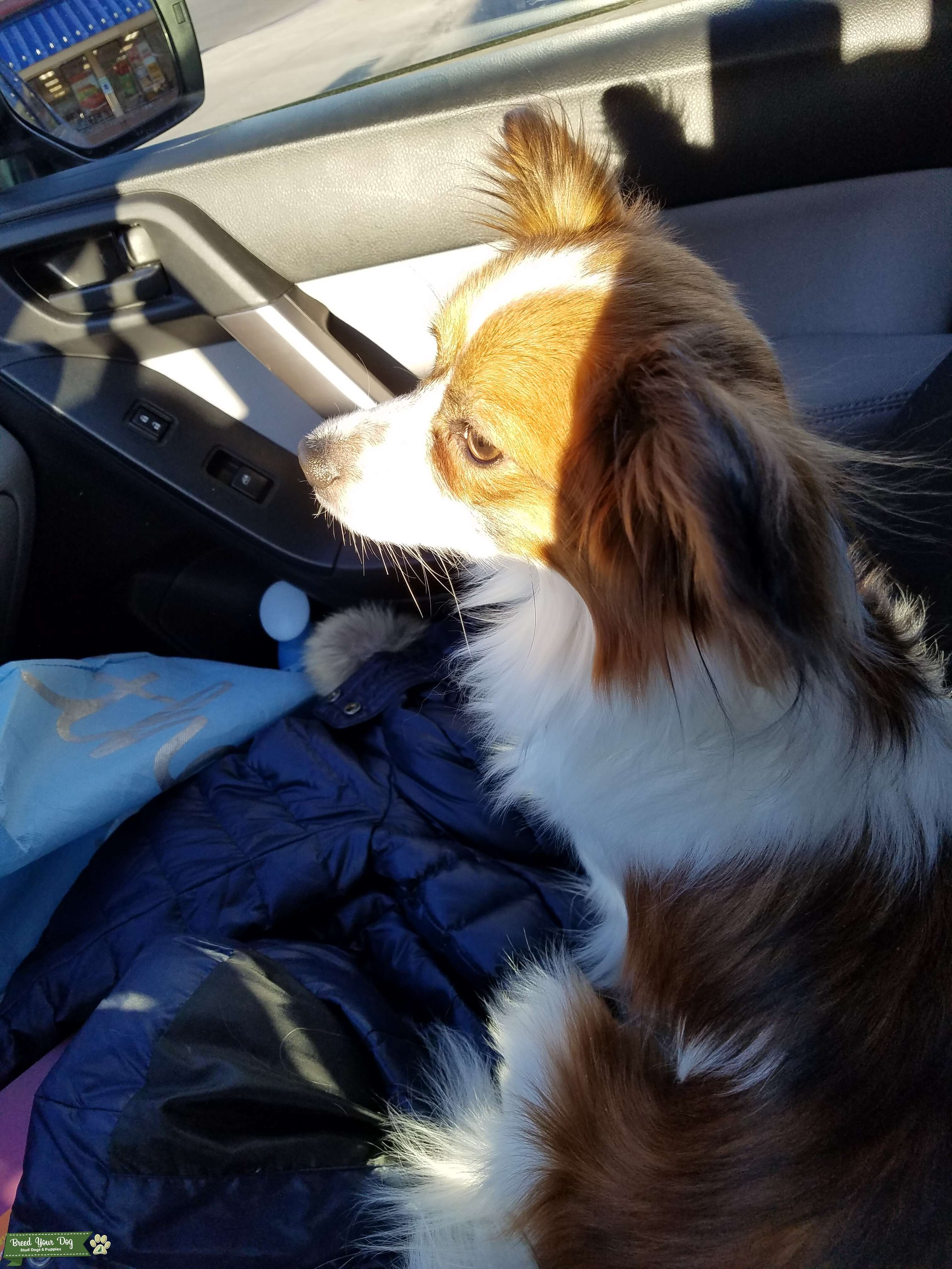 Papillon Male Seeks Female Pomeranian / Dachshund / Other Listing Image Big