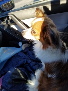 Papillon Male Seeks Female Pomeranian / Dachshund / Other Listing Image Thumbnail