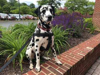 Friendly and well trained dalmatian Listing Image