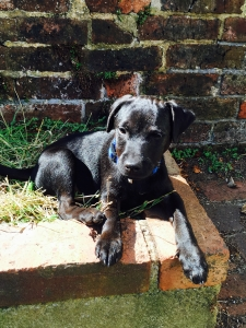Quality Black Patterdale Terrier for Stud Listing Image