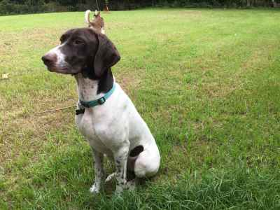 Looking to mate Female German Shorthaird Pointer AKC  Listing Image