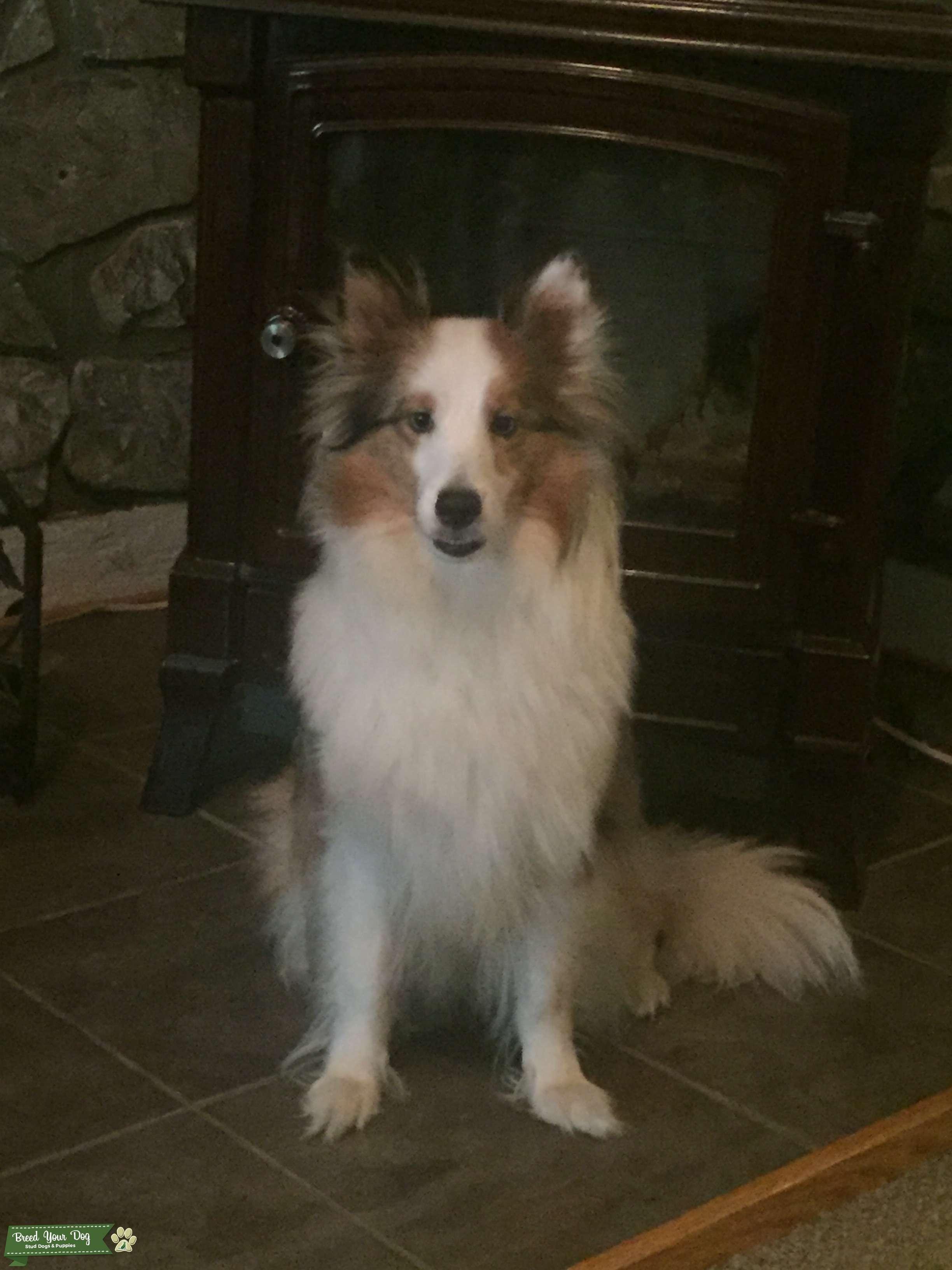 Shetland sheep dog Listing Image Big