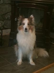 Shetland sheep dog Listing Image