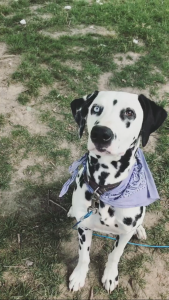 Looking for Dalmatian female to breed with  Listing Image