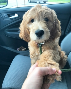 CKC F1 English Cream Goldendoodle  Listing Image Thumbnail