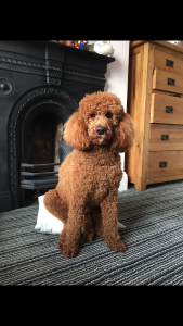 Rocky the miniature red poodle for stud Listing Image