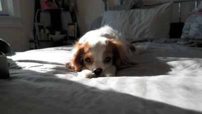 FEMALE 2-1/2 YEARS OLD  WHITE LIGHT BROWN PERFECT FACE (PURE BREAD)  Listing Image