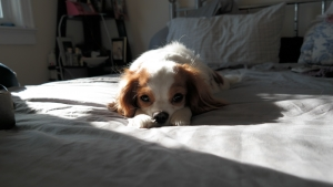 FEMALE 2-1/2 YEARS OLD  WHITE LIGHT BROWN PERFECT FACE (PURE BREAD)  Listing Image Thumbnail
