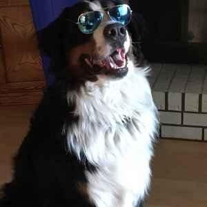 Bernese mountain dog stud Listing Image