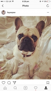Fawn black mask French bulldog Featured Image