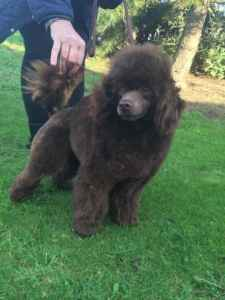 Thumb_chocolate-miniature-poodle-for-stud-pra-dna-clear-574409b472e86