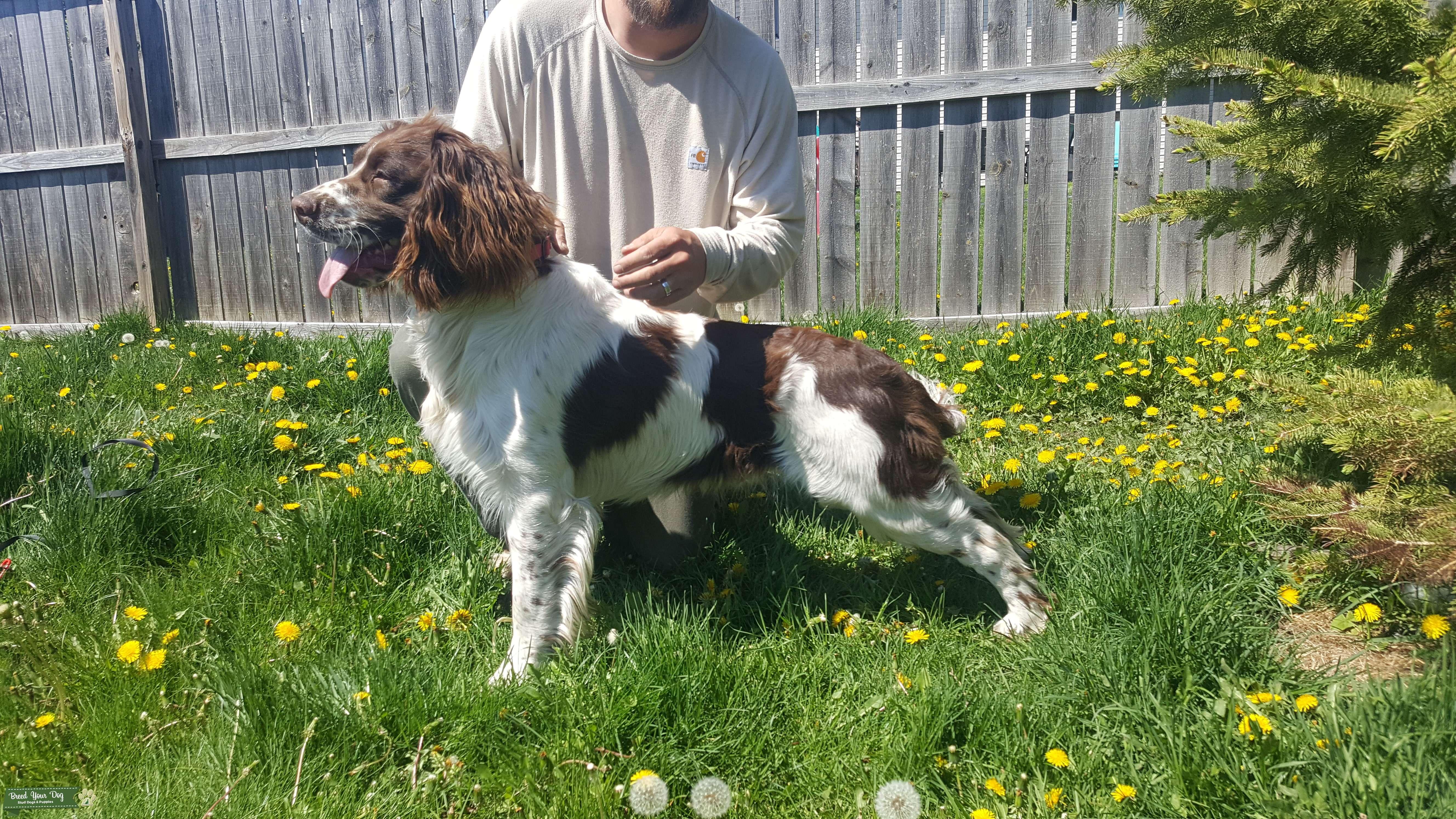 Stud Dog English Springer Spaniel Breed Your Dog
