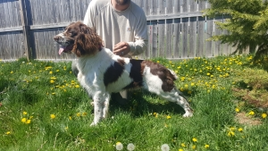 English Springer Spaniel Listing Image