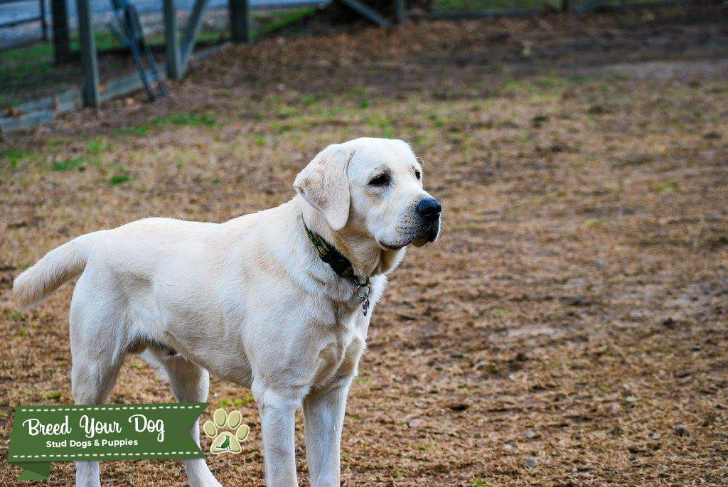 Male English Labrador Retriever Listing Image Big