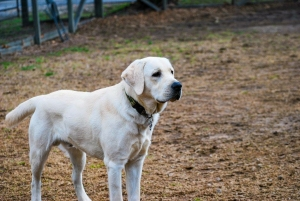 Male English Labrador Retriever Listing Image Thumbnail
