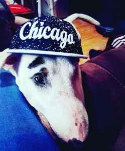 English Bull Terrier for STUD Listing Image