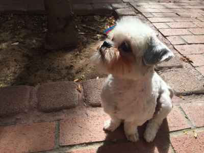 Female shih tzu looking for love! Listing Image