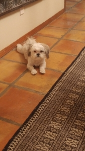 Female shih tzu looking for love! Listing Image Thumbnail