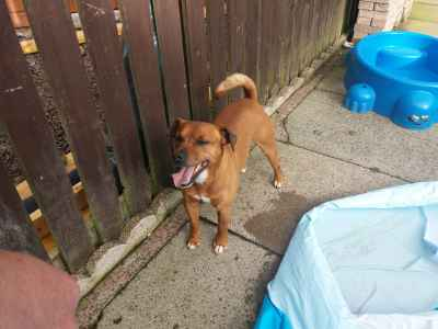 Red patterdale x Jack Russell stud £150 Listing Image