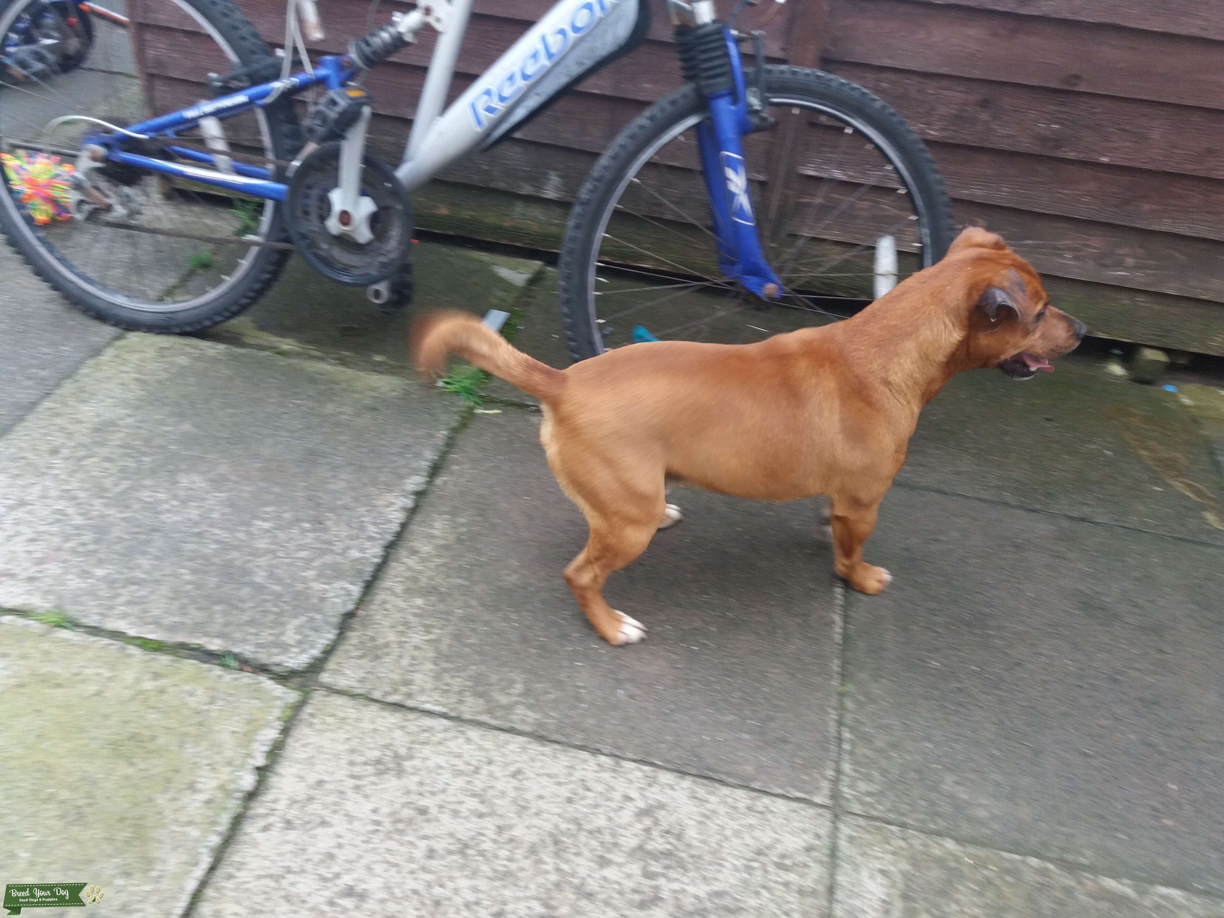 Red patterdale x Jack Russell stud £150 Listing Image Big