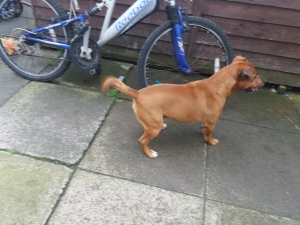 Red patterdale x Jack Russell stud £150 Listing Image Thumbnail