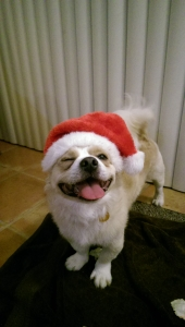 Pekingese mix looking to be a daddy! Listing Image