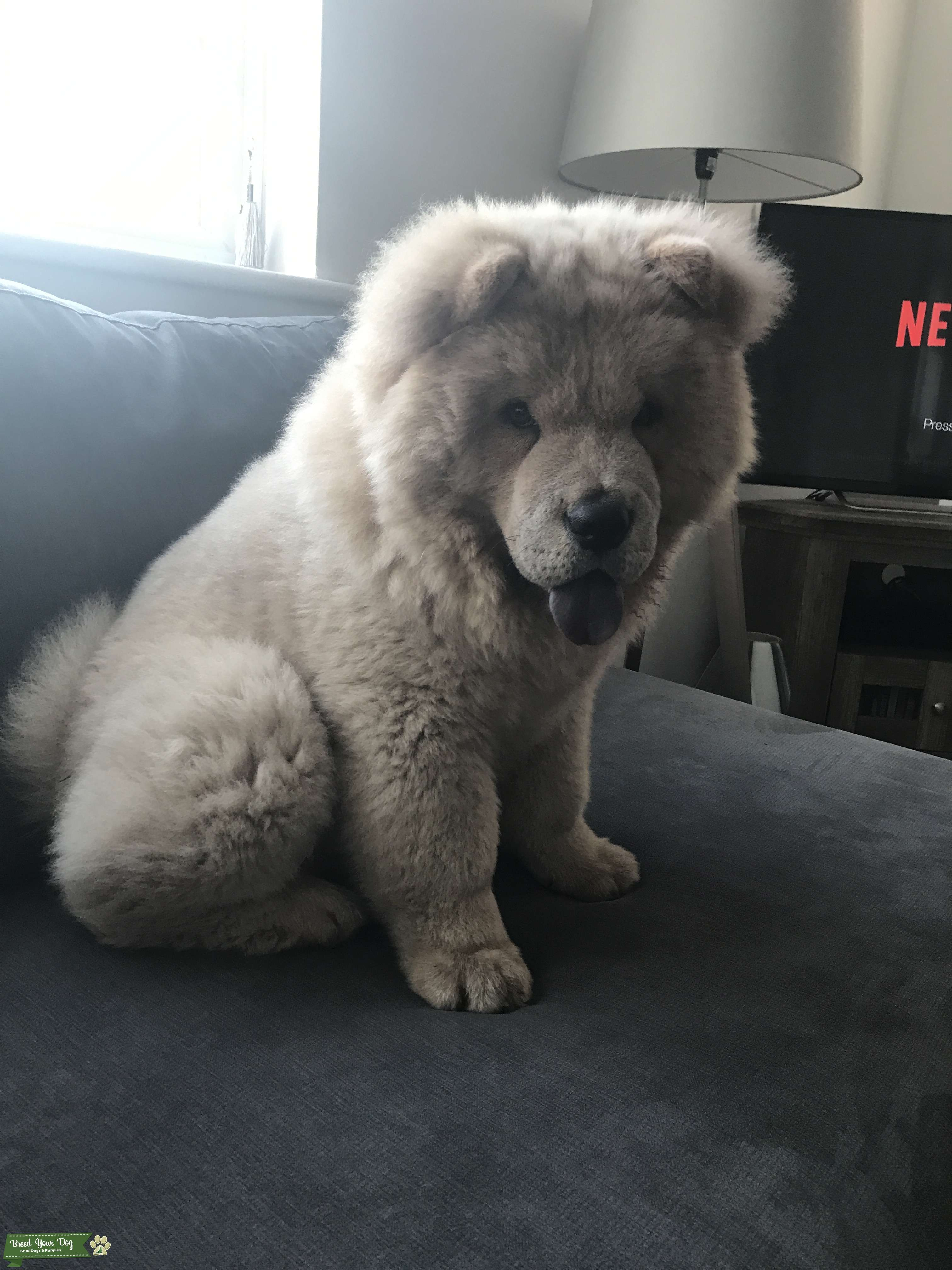 Young Healthy Chow Chow Stud Listing Image Big
