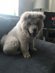Young Healthy Chow Chow Stud Listing Image Thumbnail