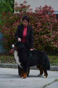 Champion bernese mountain dog with healthy, swiss bloodline Listing Image