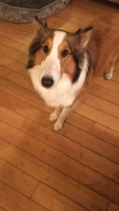 Sheltie looking for GF Listing Image