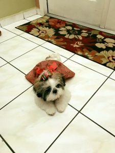 Looking for a SHIH TZU male to breed with my beautiful female Featured Image