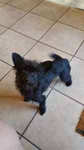 Chihuahua Miniature Poodle mix ready for a mate! Listing Image