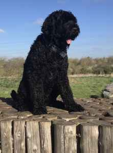 Proven Russian Black Terrier  Listing Image