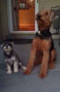 Airedale with great coat and temperament for stud Listing Image