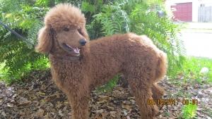 Red AKC Registered Standard Poodle, Plantation FL USA Listing Image