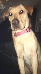Sweet 2yr old lab/sher pei Listing Image
