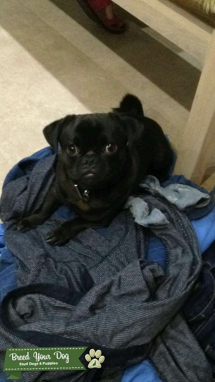 Fred the Pug is looking for love  Listing Image Big