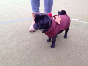 Fred the Pug is looking for love  Listing Image Thumbnail