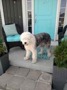 Stud Dog Akc Old English Sheepdog Breed Your Dog