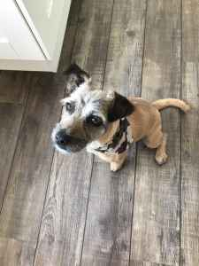 Beautiful Border Terrier Jack Russell cross male Listing Image