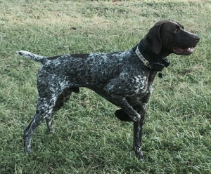 German Shorthaired Pointer Listing Image
