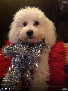 White miniature poodle Listing Image