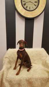 Female Doberman will be looking for a stud dog Listing Image