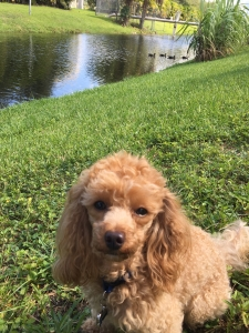 looking for a male mini goldendoodle  Listing Image