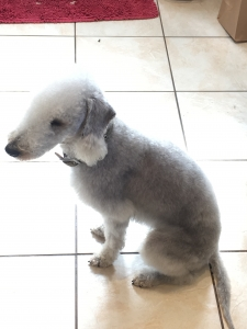 Blue Bedlington Terrier Looking for lady friend Listing Image